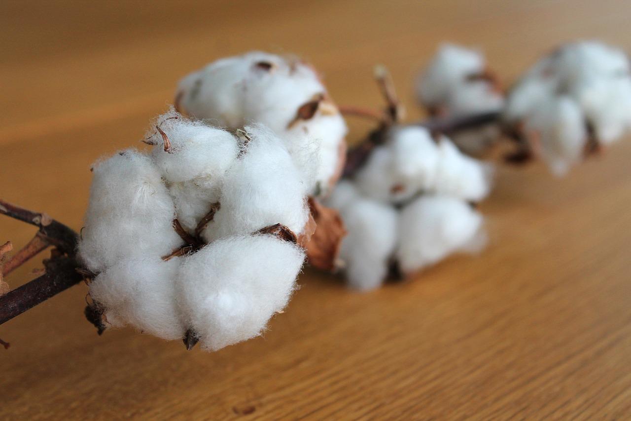 cotton-branch-1271038_1280